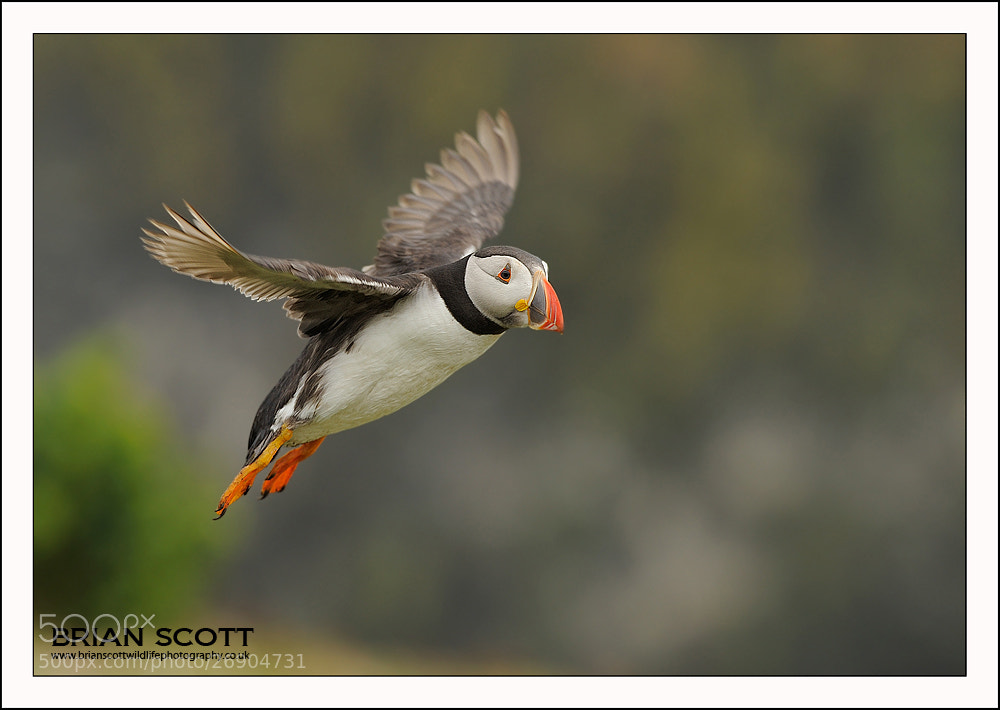 Photograph Fratercula arctica by Brian Scott on 500px