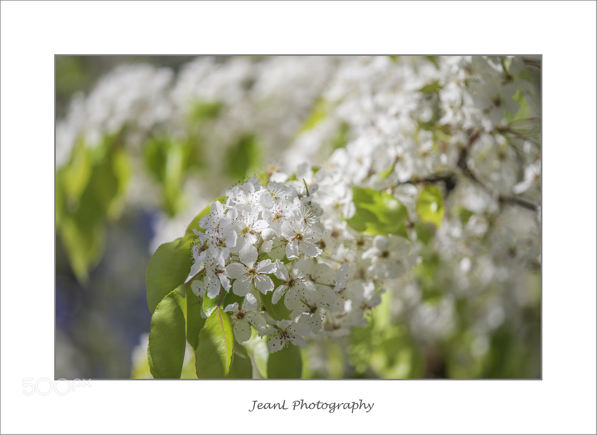 Photograph White crab apple blossoms by Jean Li on 500px