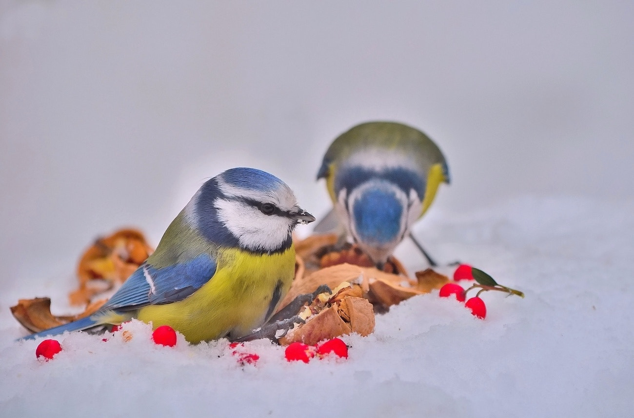 Photograph Blue Tits by Ferenc Gelencsér on 500px