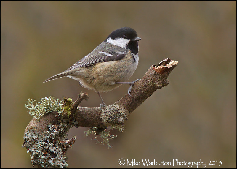 Photograph Coal Tit by Mike Warburton on 500px