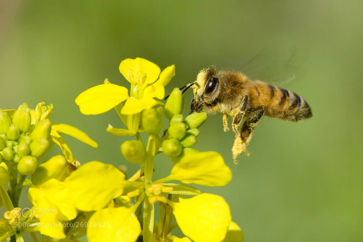 Photograph Let It Bee  by Ofir Weiss on 500px