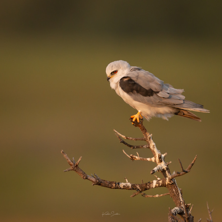 White tailed Kite by Kaddi Sudhi on 500px.com