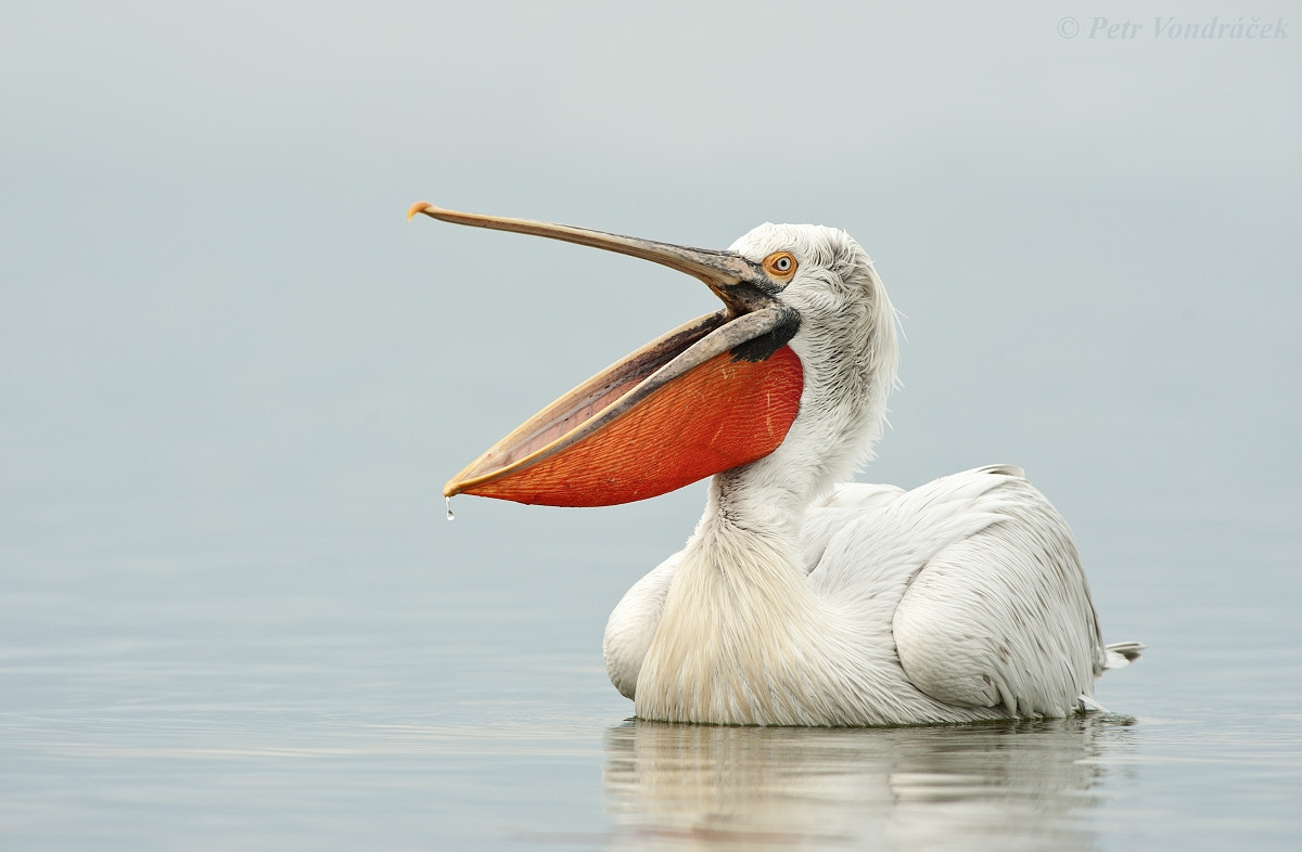 Photograph Sleepy Pelican by Petr Vondráček on 500px