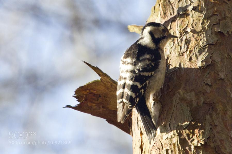 little woodpecker 1# by Kristoffer  (fotokoffe)) on 500px.com