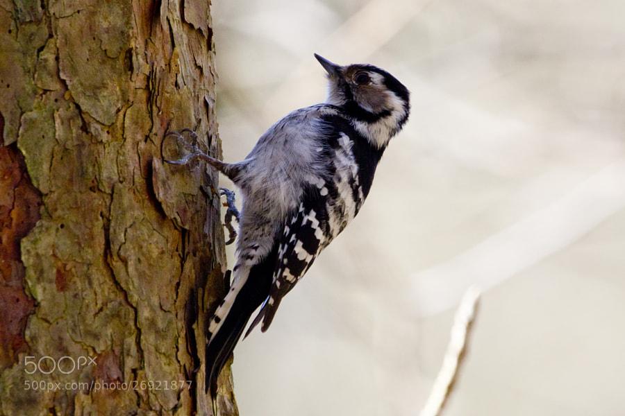little woodpecker 4# by Kristoffer  (fotokoffe)) on 500px.com