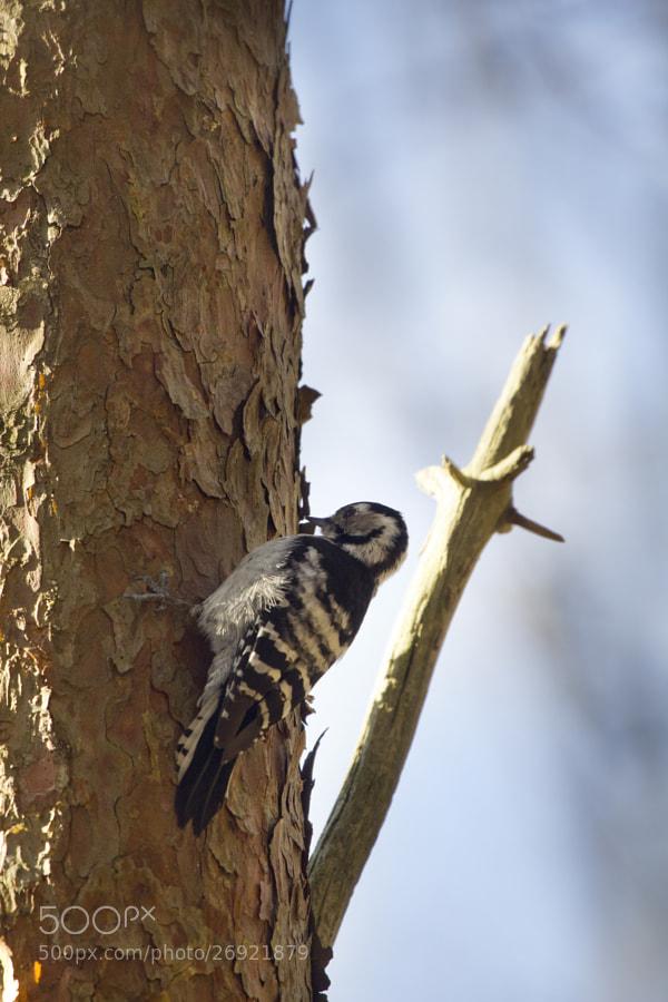 little woodpecker 3# by Kristoffer  (fotokoffe)) on 500px.com