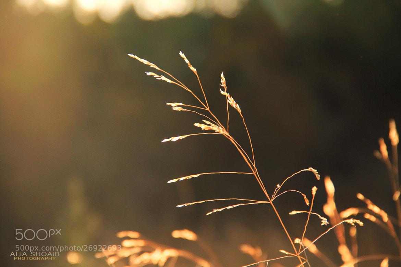 Photograph Spike wheat by ALiA Shoaib on 500px