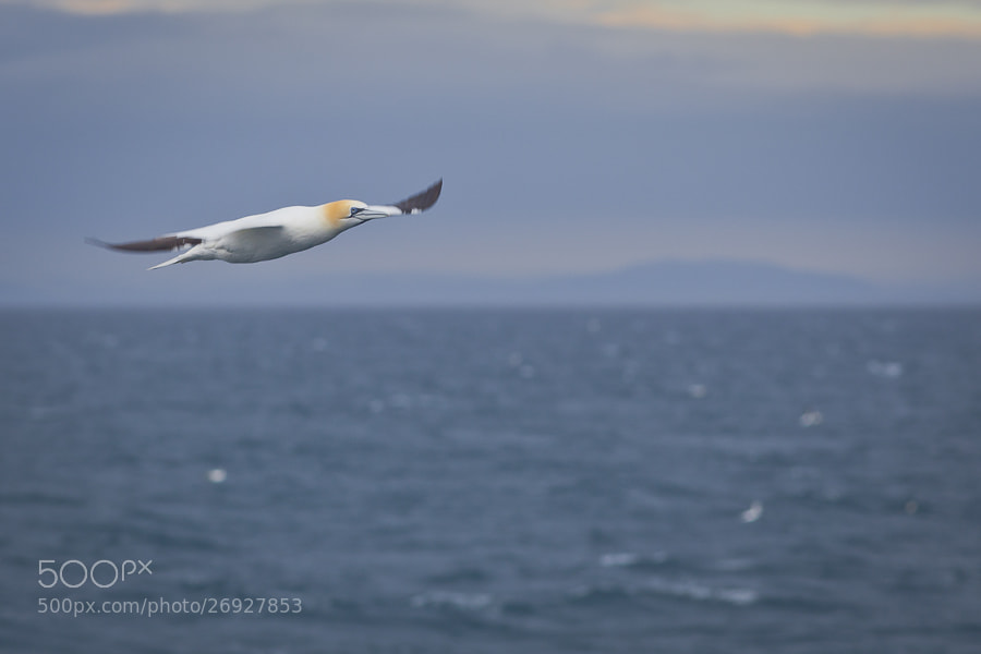 Gannet by Steve Burnett (Dead_Yankee)) on 500px.com