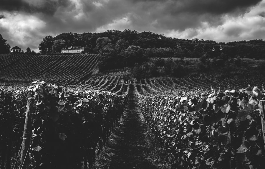 Vineyards in the Rhein Valley #16 by Son of the Morning Light on 500px.com