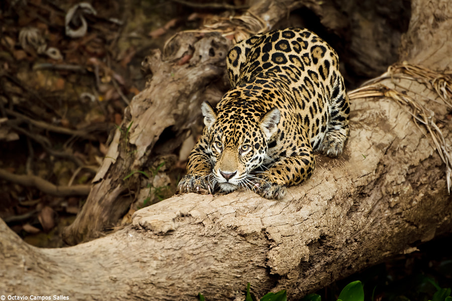 Photograph Jaguar (Panthera onca) by Octavio Campos Salles on 500px