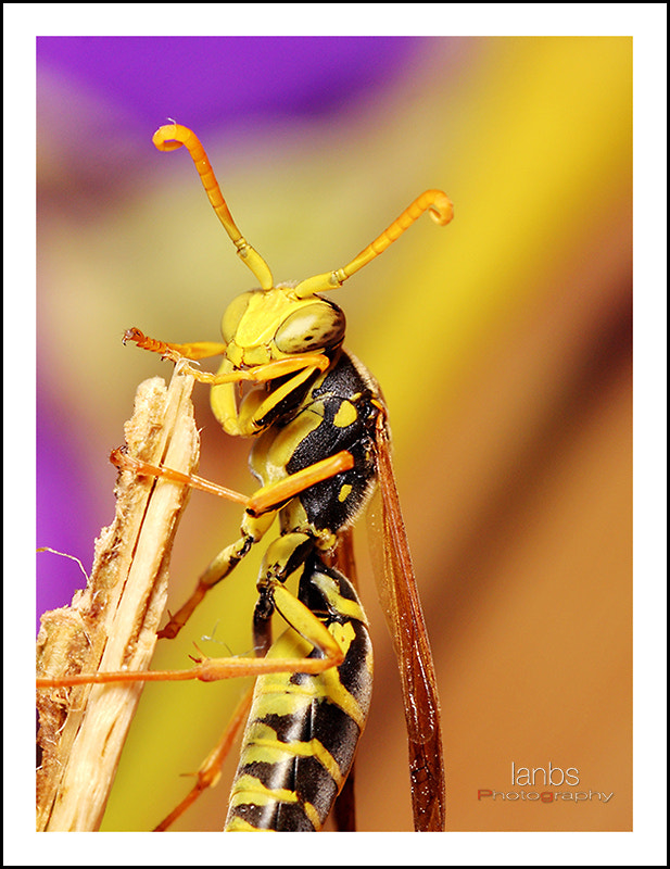 Photograph Hello I'm Wasp by ianbs on 500px