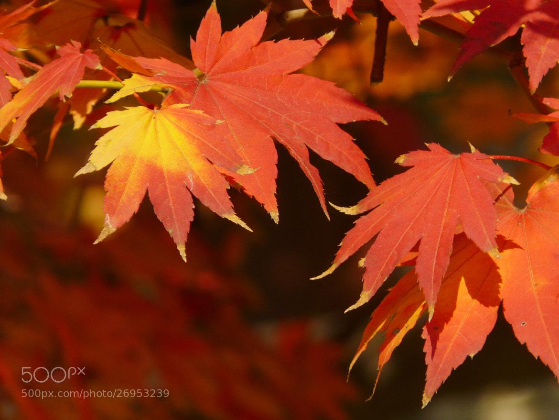 Photograph Maple Leaves, Deoksugung Palace - Seoul, KOREA by sharon ang on 500px