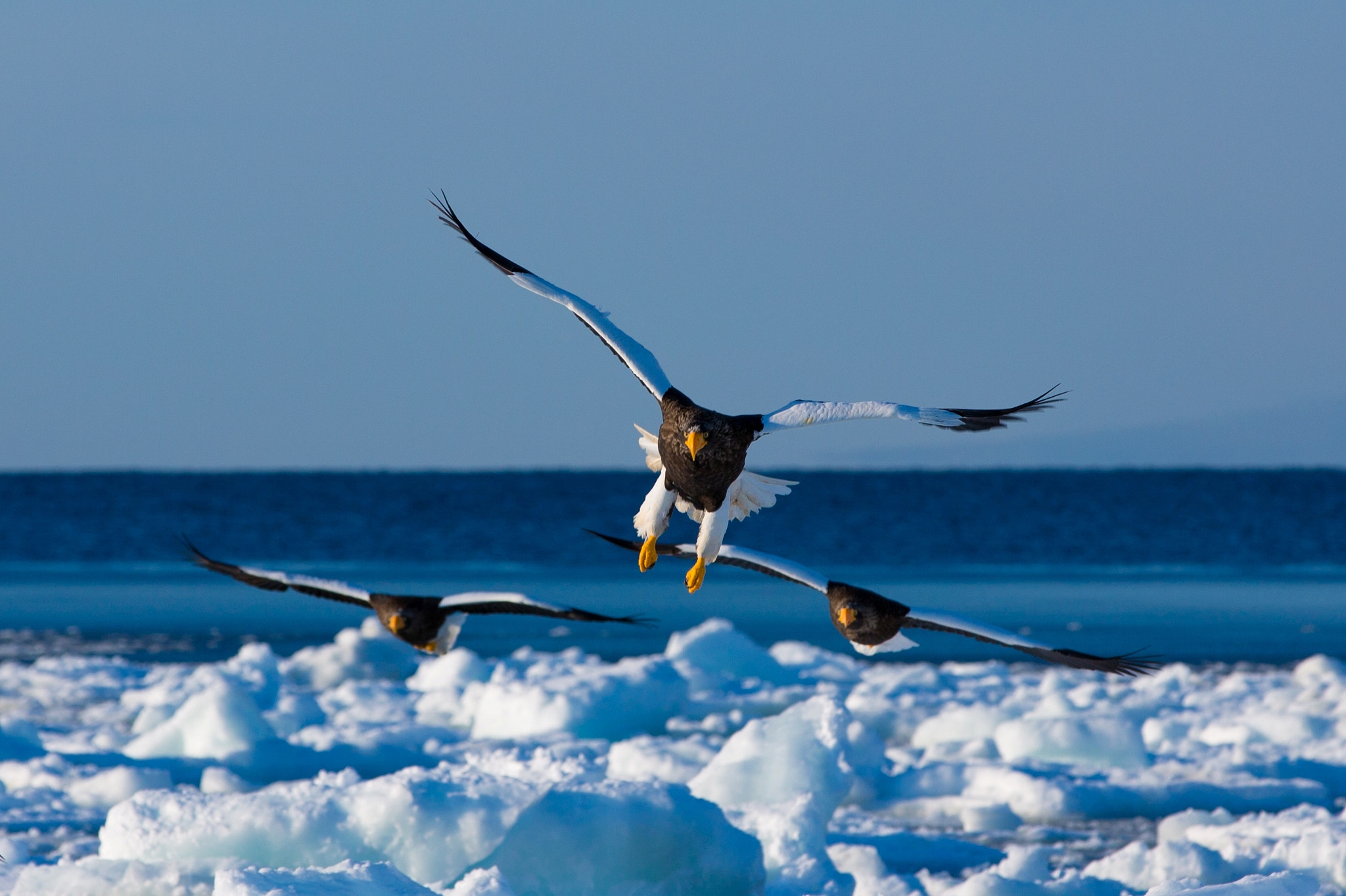 Photograph Steller's sea eagles by Akiko F on 500px