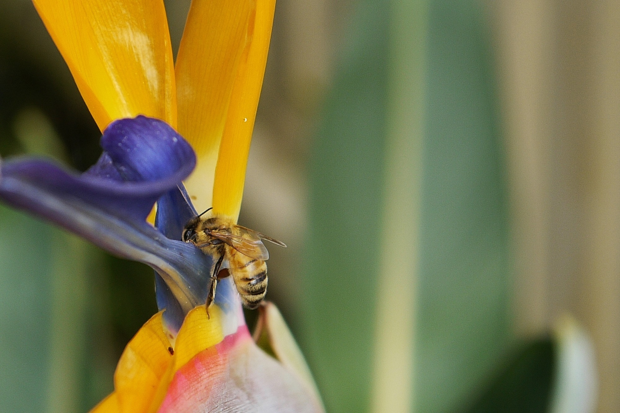 Photograph Bee on Bird of Paradise by tsuken on 500px