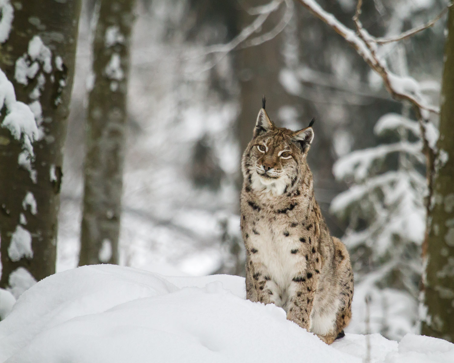 Photograph what do you want? I'm a lynx :-) by Stefan Zinsmeister on 500px