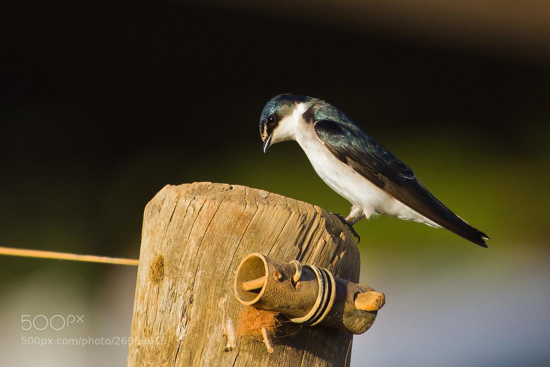 Photograph White-rumped Swallow (Tachycineta leucorrhoa) by Bertrando Campos on 500px