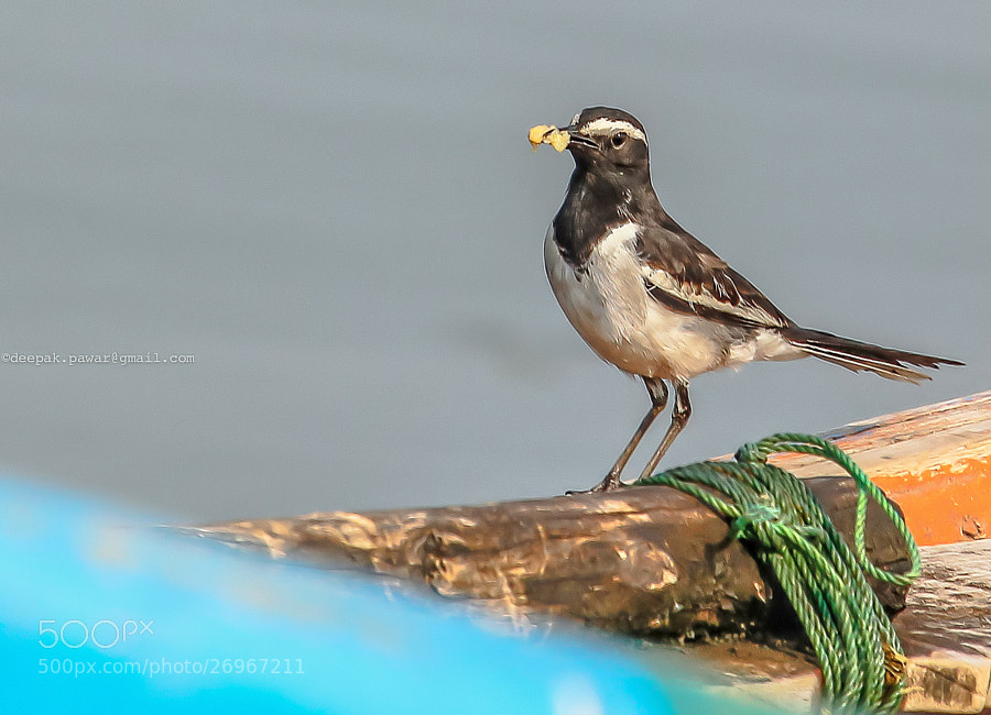Photograph White Browed Wagtail by Deepak Pawar on 500px