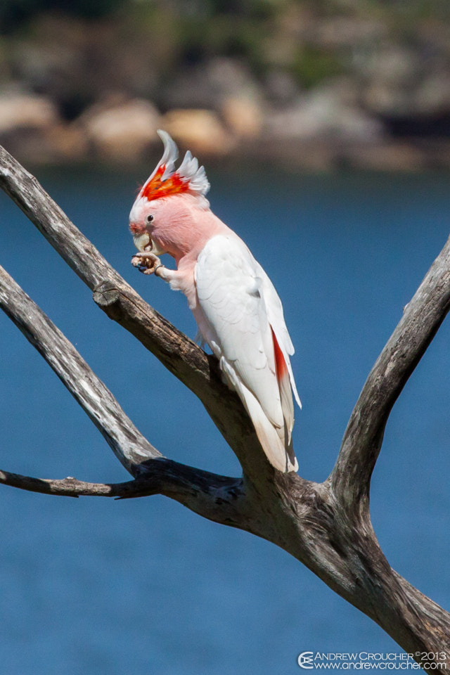 Photograph Major Mitchell's Cockatoo by &rü C on 500px