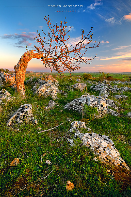 Photograph Lonely tree by Enrico Montanari on 500px