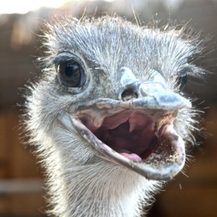 Angray Ostrich