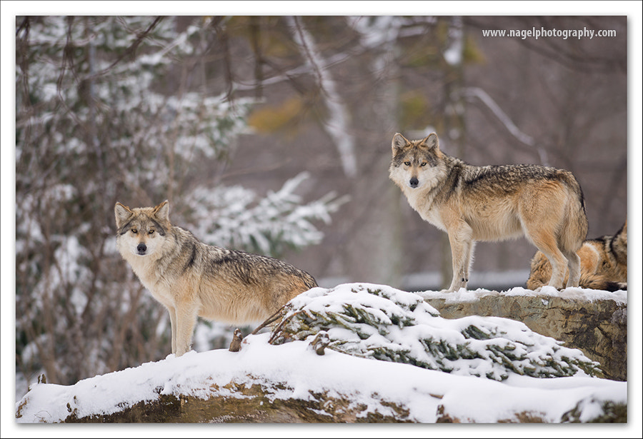 Photograph Wolves in Winter by Glenn Nagel on 500px