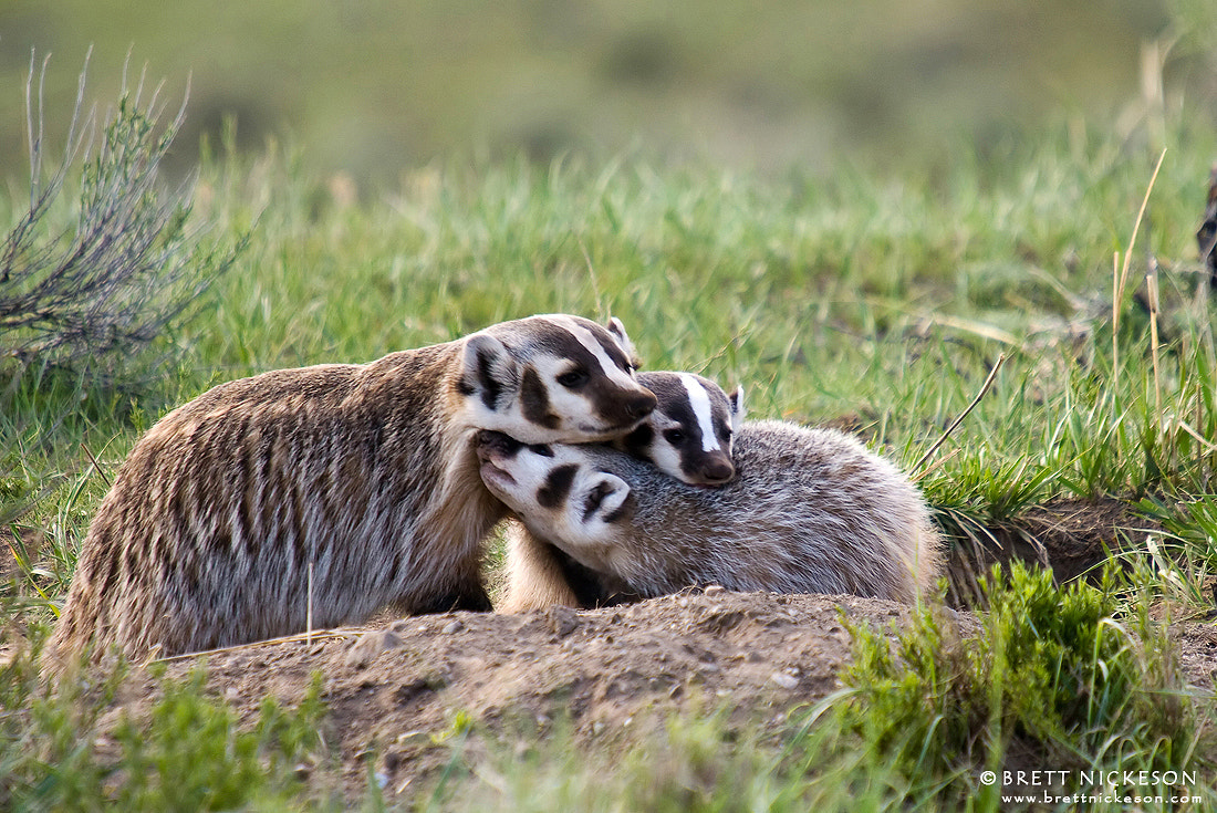 Photograph Badger, Badger, Badger, Badger by Brett Nickeson on 500px