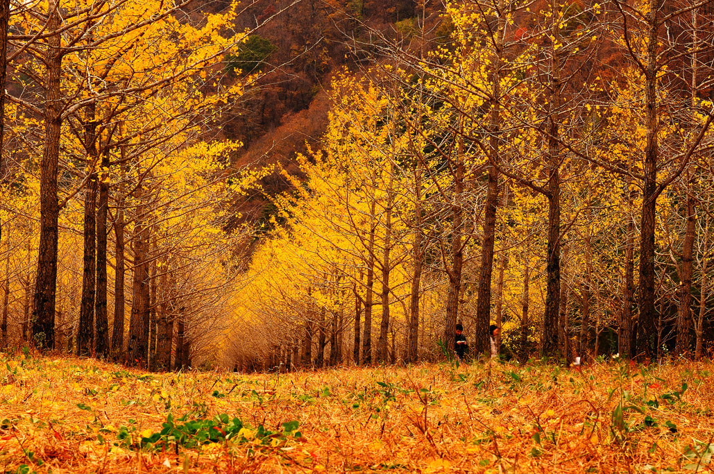 Photograph ginkgo trees by hyunwoo han on 500px
