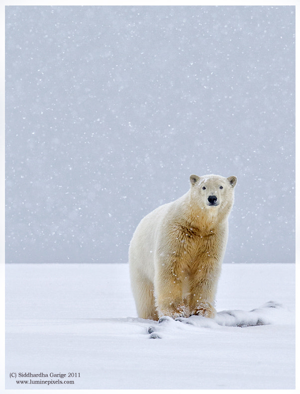 Photograph Polar bear in snow -2 by Siddhardha Garige on 500px