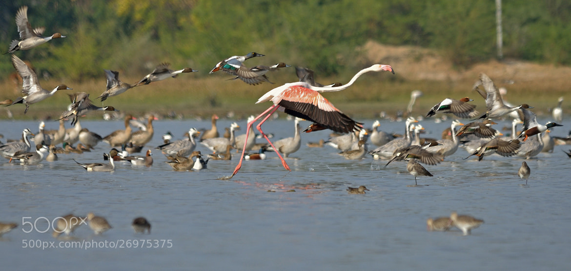 Photograph Greater Flamingos Flying Away by Uttam Pegu on 500px
