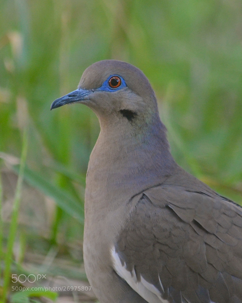 Photograph White-winged Dove by Steven Bach on 500px