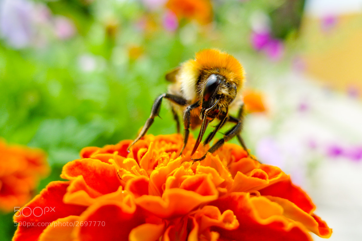 Photograph bee 05 by Adriano Neves on 500px