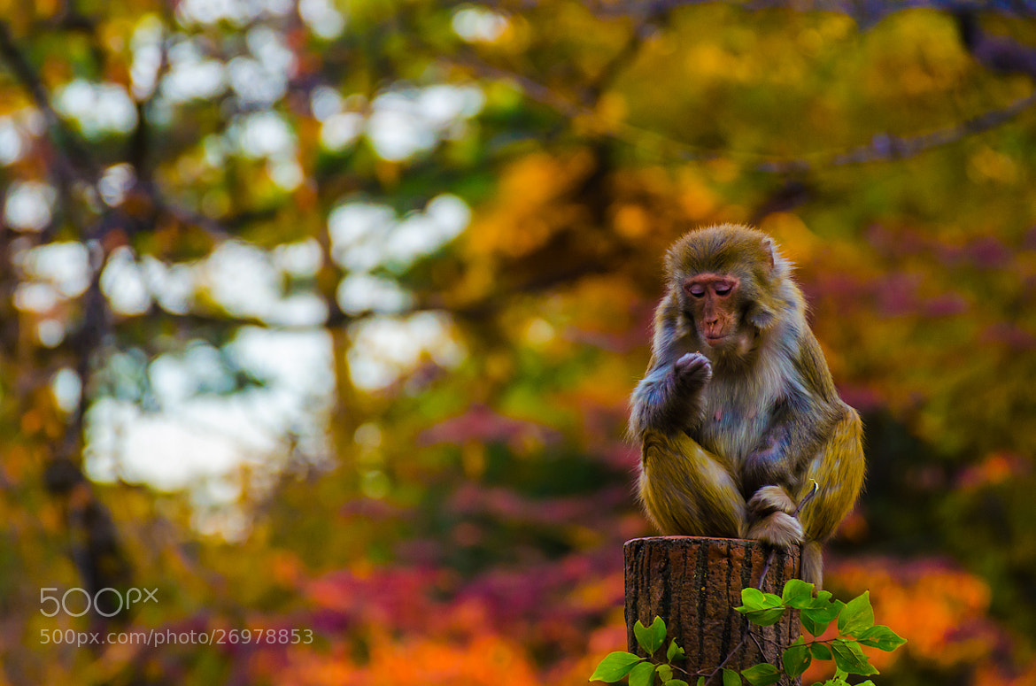 Photograph A Monkey .. who lives in Japan ^^ by Note Vichayut on 500px