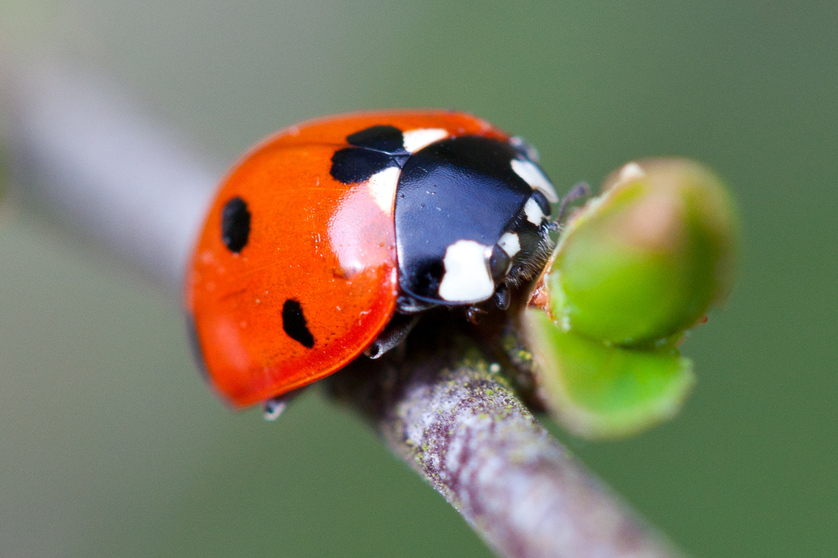 Photograph Ladybird at rest by Andrew Bertram on 500px
