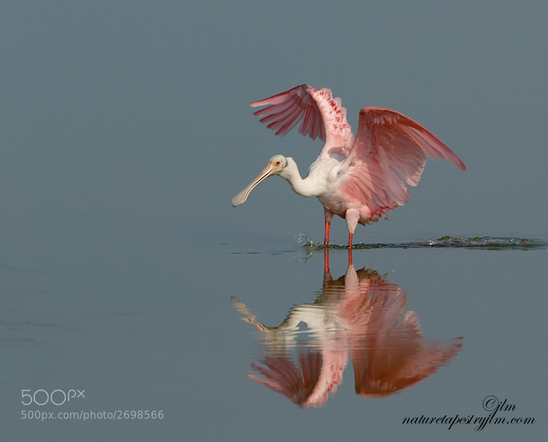 This is an image of a Roseate Spoonbill taken when the waters were still which made it possible to capture the reflection.  They are such gorgeous birds and we are so fortunate to see them here in Florida.  Theyn are wading birds and the water needs to be low to bring in the mud flats where they can forge for food.