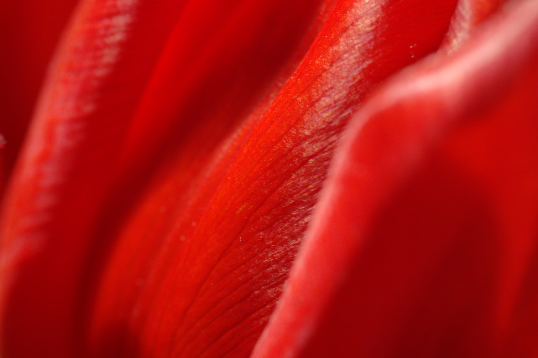 Photograph red tulip by Tim  Taylor on 500px