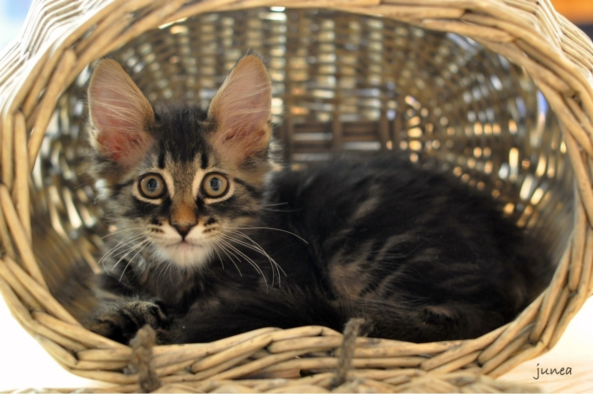 Photograph Kitten in the basket by June A on 500px