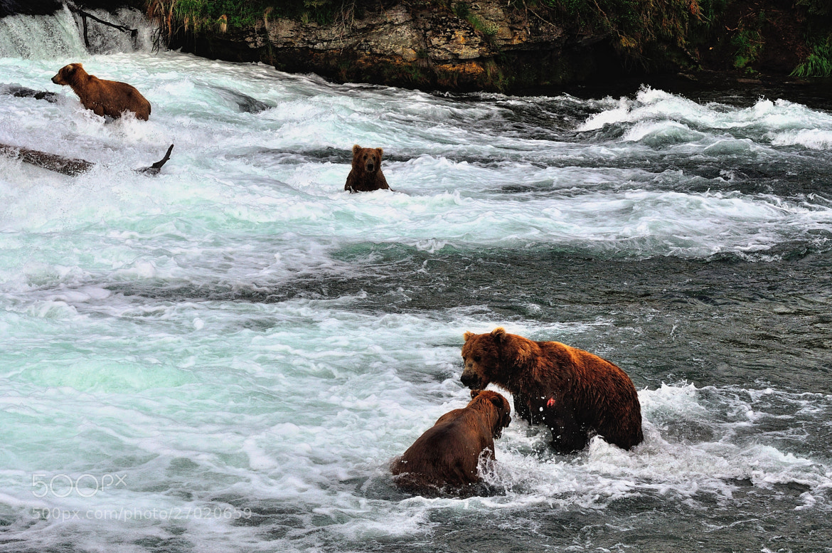 Photograph Four Brown Bears at Brooks Falls. by Mark Stevens on 500px