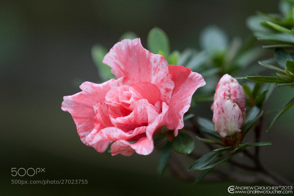 Photograph Pink striped Azalea by &rü C on 500px