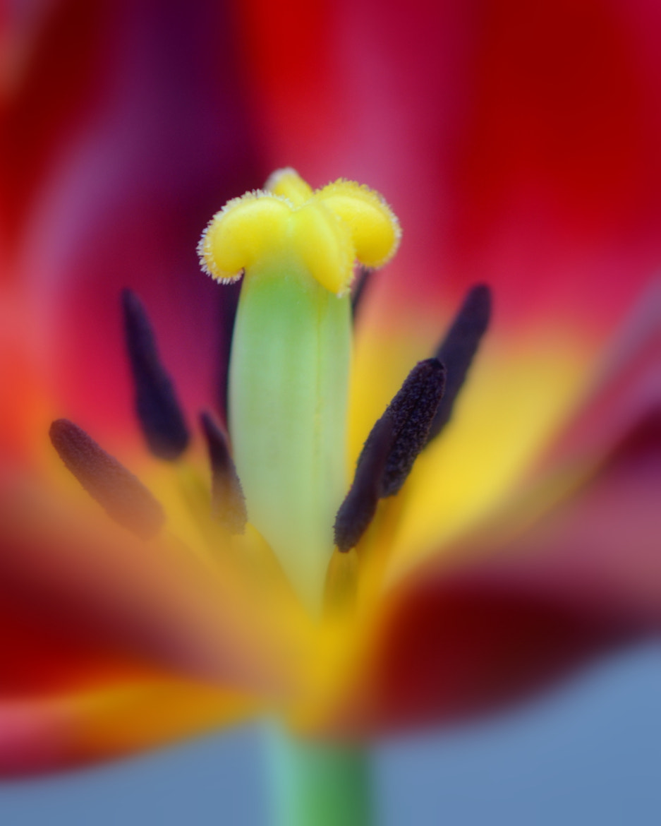 Photograph Tulip by Susan Fisher on 500px