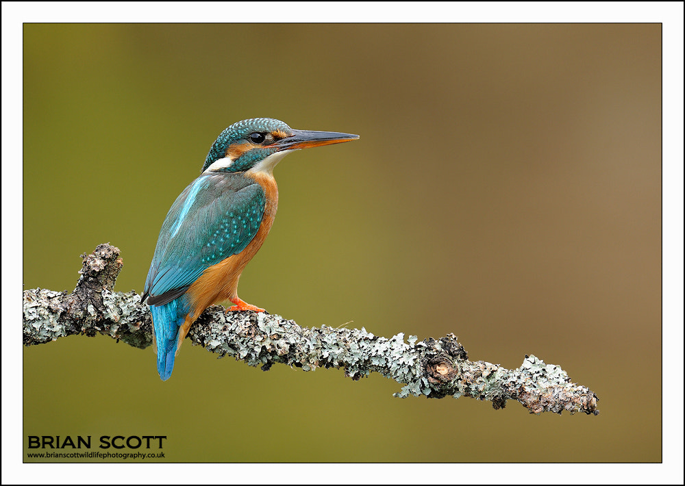 Photograph Common Kingfisher by Brian Scott on 500px