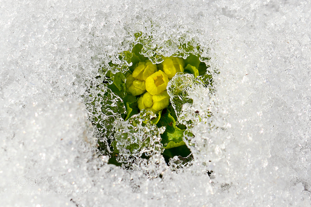 Photograph Flower in the snow by LEE INHWAN on 500px