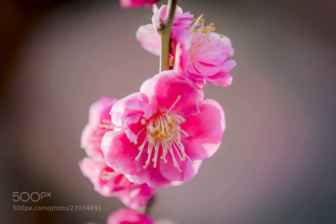 Photograph Plum blossoms by marbee .info on 500px