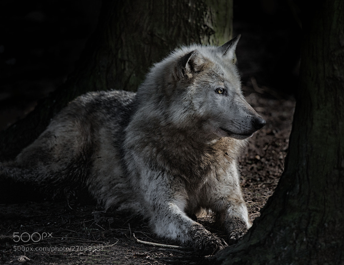 Photograph A reflective wolf by Sue Demetriou on 500px