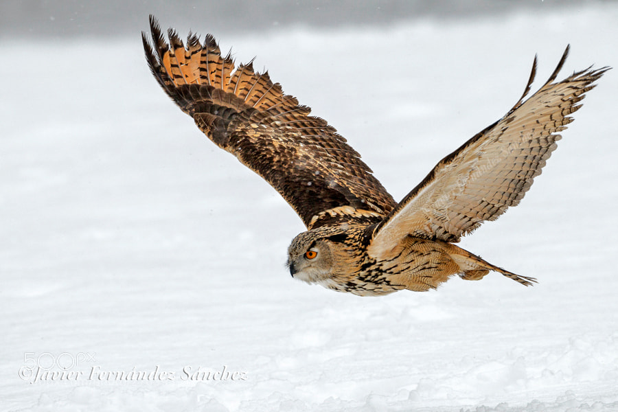 Photograph Eagle owl flying by Javier Fernández Sánchez on 500px