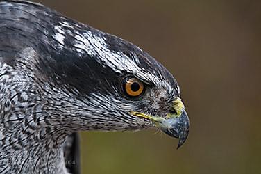 Photograph Adult Northern Goshawk by Mark Mathison on 500px