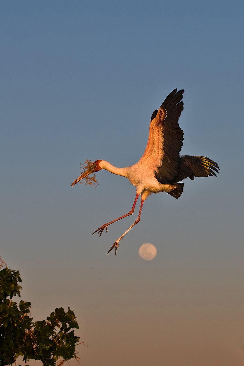 Photograph Stork moon landing by Marc MOL on 500px