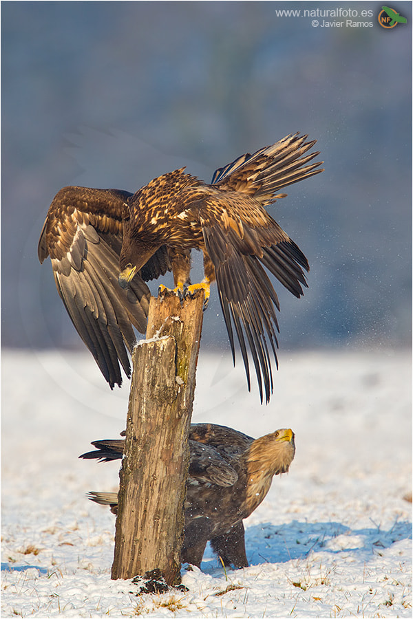 Photograph White-tailed Sea Eagle by Javier Ramos on 500px