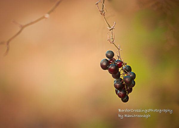 Photograph Winter Berries by Rani Meenagh on 500px