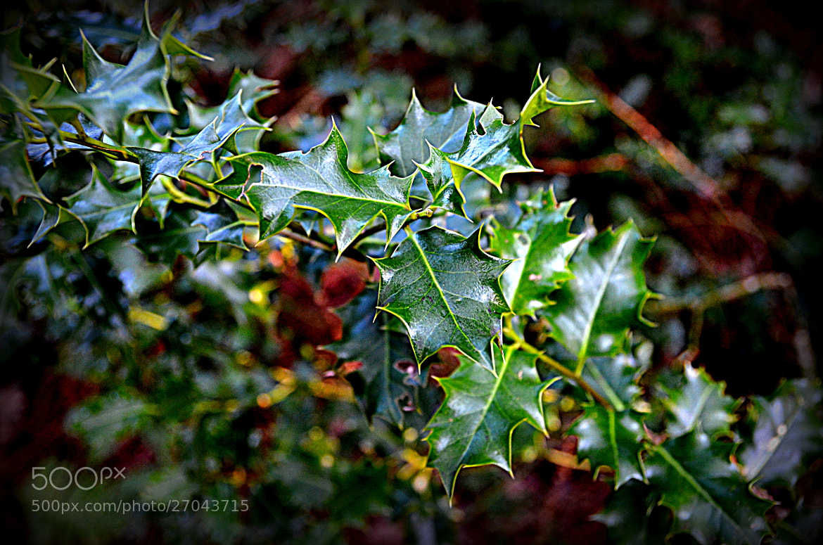 Photograph Winter Holly by MalekPhotography on 500px