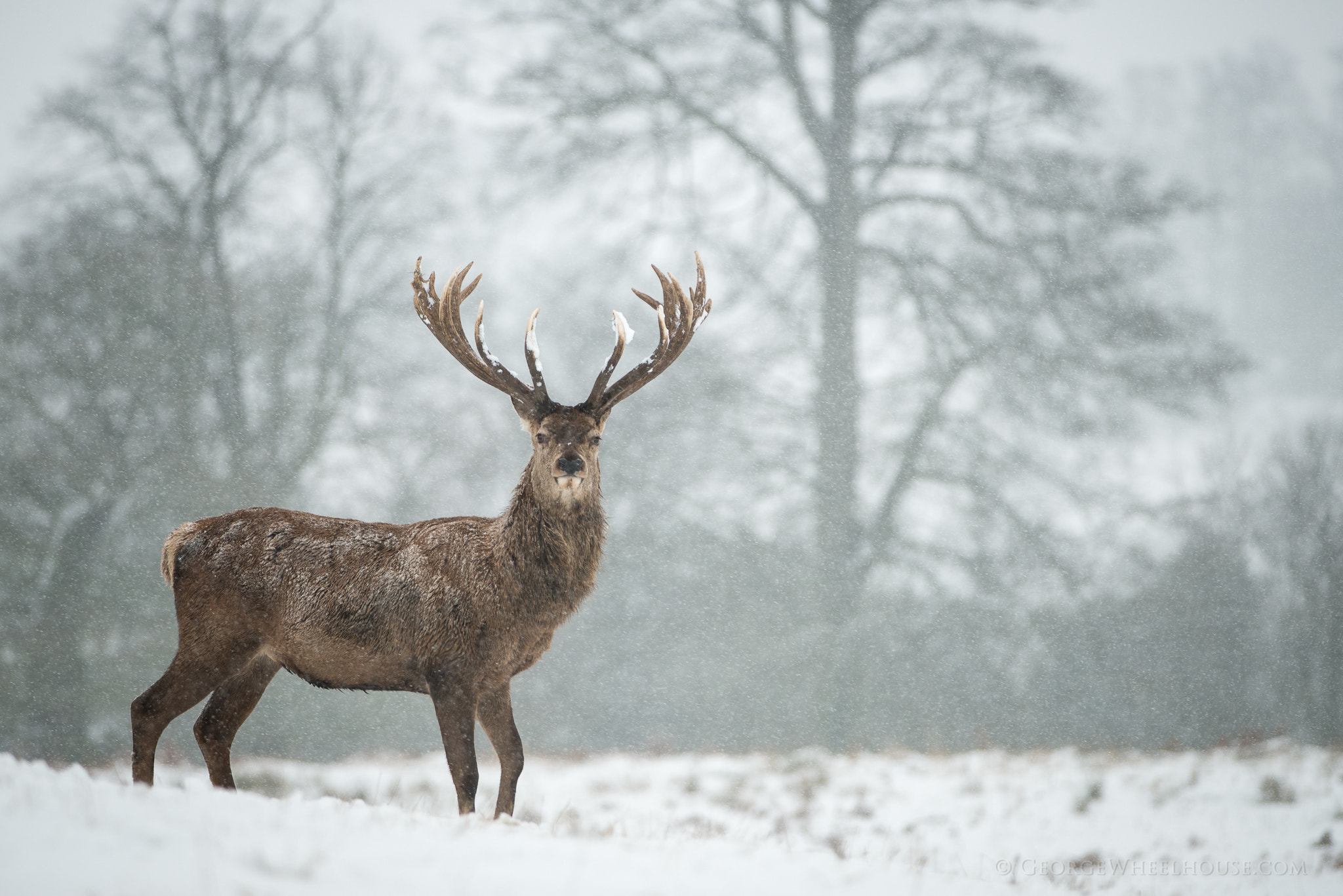 Photograph Red Deer in Snow by George Wheelhouse on 500px